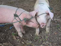 Their first two pigs